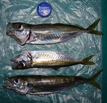 крым рыбалка на ставриду